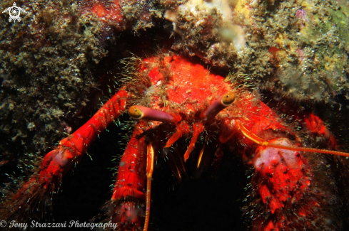 A Hairy Red Hermit Crab