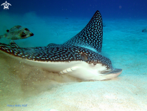 A Spotted Eagle Ray and Smooth trunkfish