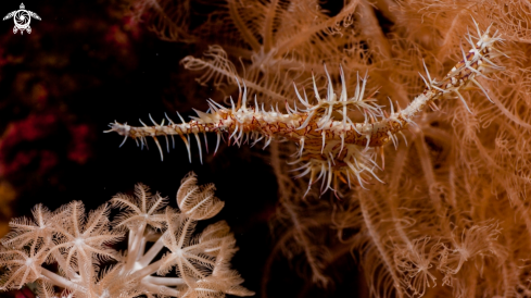 A  Ghost pipefishes