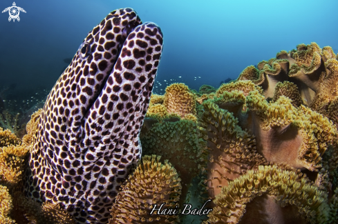 A Honeycomb moray eel