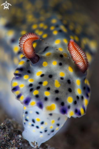 A Hypselodoris sp.