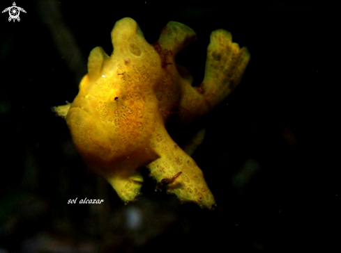 A baby frogfish