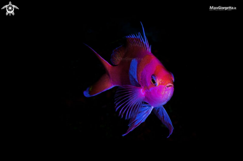 A squarespot anthias - male
