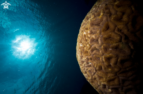A Brain Coral and Sunball