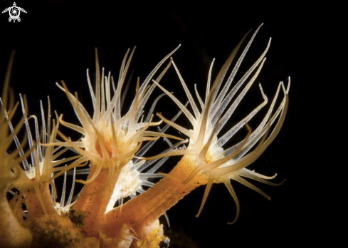 A PARAZOANTHUS AXINELLAE | SEA FLOWER