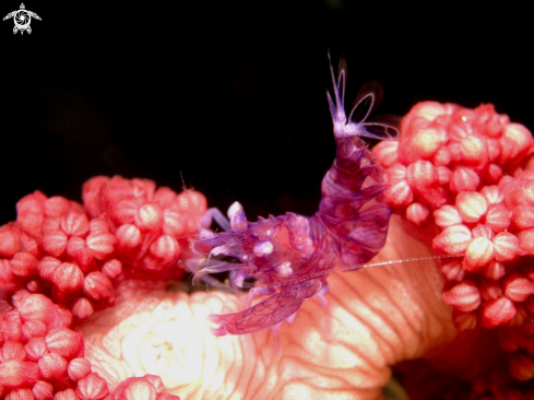 A Horned Sea Pen Shrimp