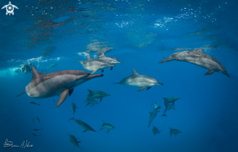 A Spinner Dolphins
