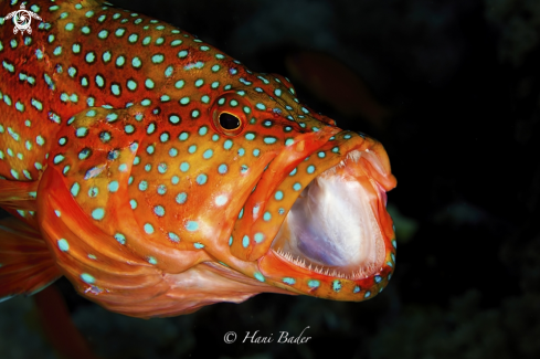A coral grouper