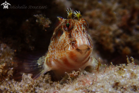 A Parablennius intermedius | Horned Blenny