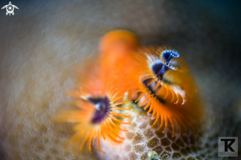 A Christmas tree worm