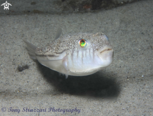 A Weeping toadfish