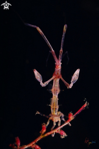 A Caprella spp | Skeleton shrimp