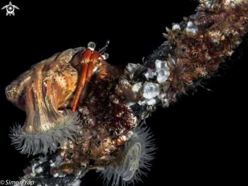 A Jewelled Anemone Hermit Crab