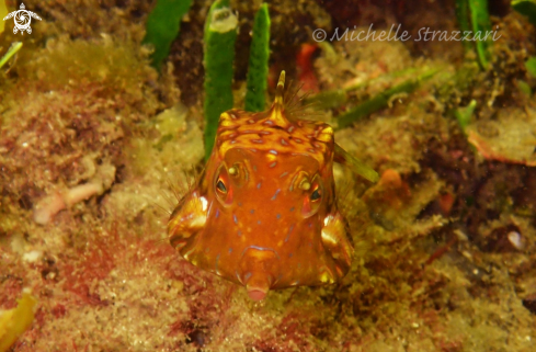 A Thornback Cowfish