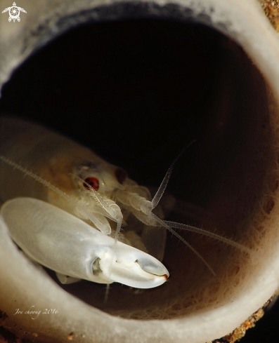 A Synalpheus carinatus  | Snapping shrimp