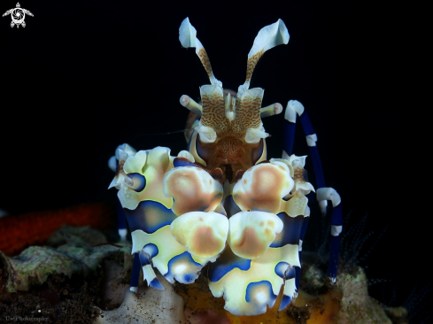 A Harlequin shrimp | Harlequin shrimp