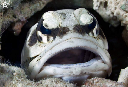 A Giant jawfish
