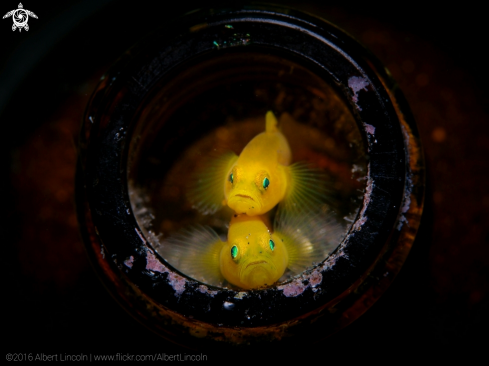 A Lemon Yellow Goby