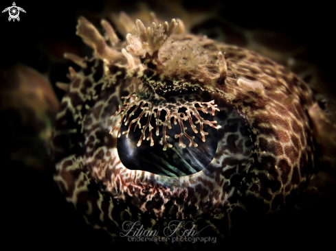 A Eye of Crocodile Flathead