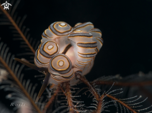 A Donut Doto Nudibranch