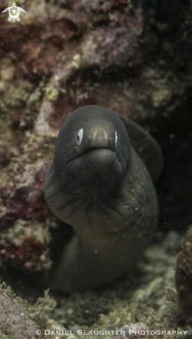 A White Eyed Moray Eel