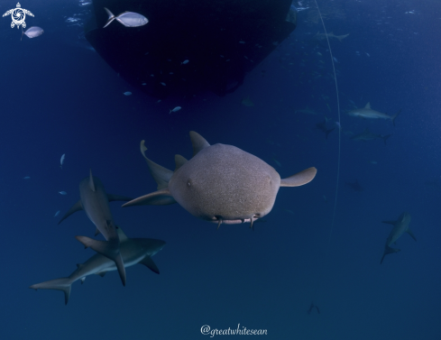 A Nurse Shark and Caribbean Reef Sharks