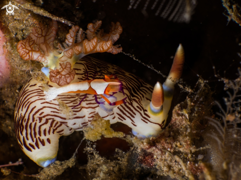 A Nudibranch and emperor shrimp