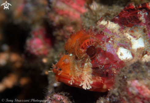 A Painted scorpionfish