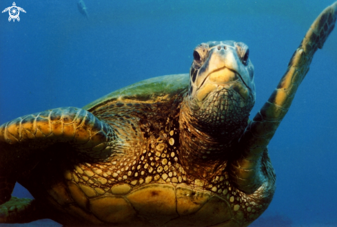 A Chelonia mydas | Green Sea Turtle