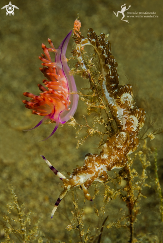 A two nudibranches