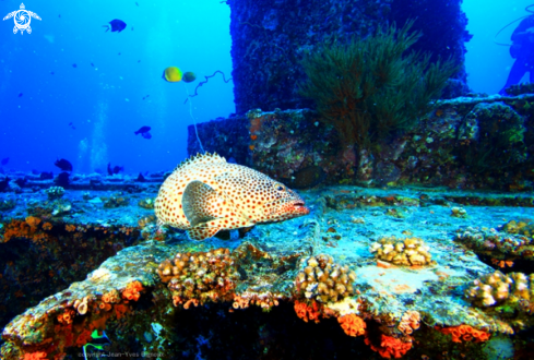 A Grouper Fish