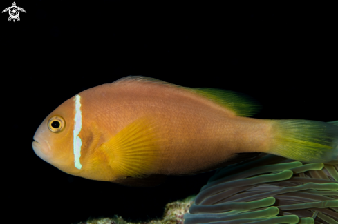 A Maledives Anemonefish