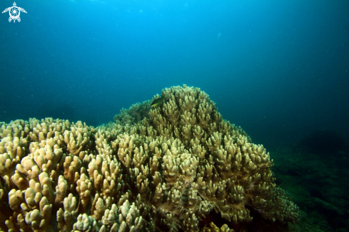 A Soft Coral formation at depth of 25 metres,Pointe Aux Cannoniers,Mauritius