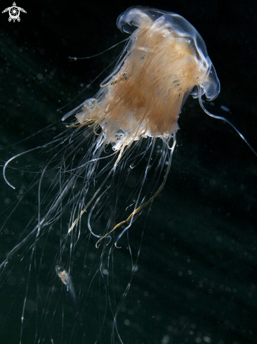 A Lion´s mane jellyfish & whitting