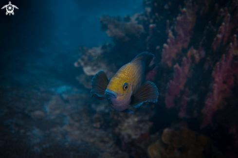 A Dusky Damselfish