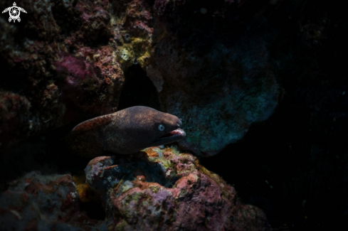 A White-eyed Moray eel