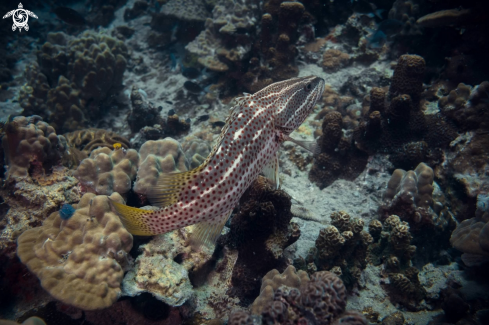 A White-lined Grouper