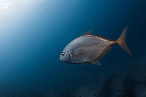 A Yellowspotted Trevally