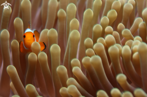 A Amphiprioninae | Clownfish