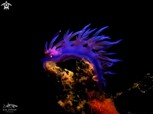A Purple flabelina.