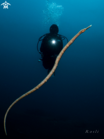 A Bend Stick Pipefish