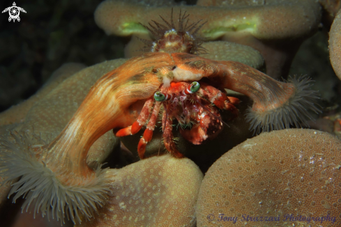 A Anemone hermit crab