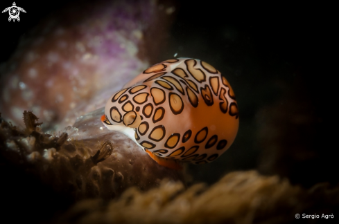 A Flamingo tongue snail