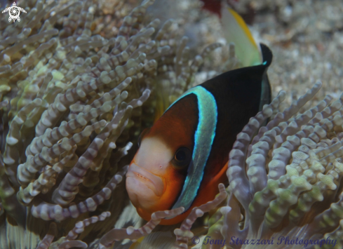 A Amphiprion clarkii | Clark's clownfish