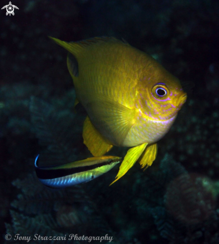 A Amblyglyphidodon aureus with Labroides dimidiatus | Golden damsel with a cleaner wrasse