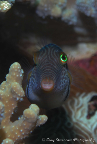 A Canthigaster valentini | Black-saddled toby