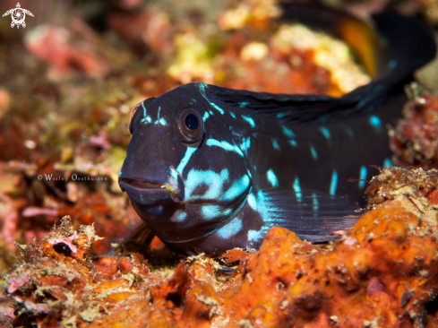 A Ecsenius namiyei | Black Combtooth Blenny