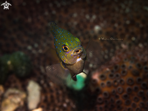 A Jewel damselfish