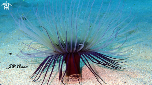 A Pachycerianthus solitarius | Cylinder anemone