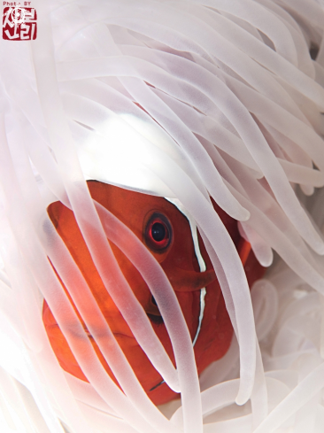 A anemonefish